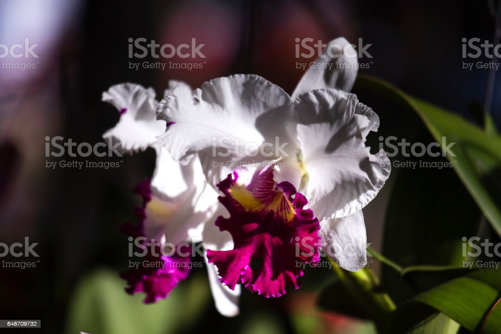 Close up pink Orchids Cattleya stock photo