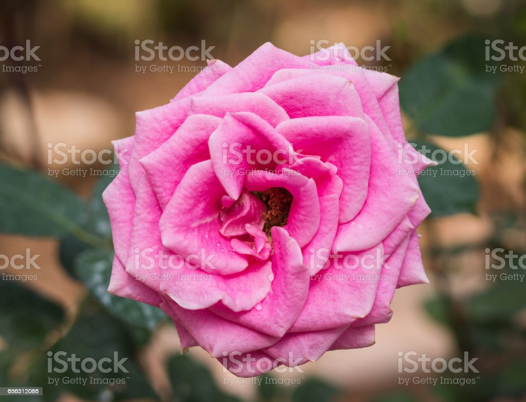 Close up pink rose blooming in garden valentine day. stock photo