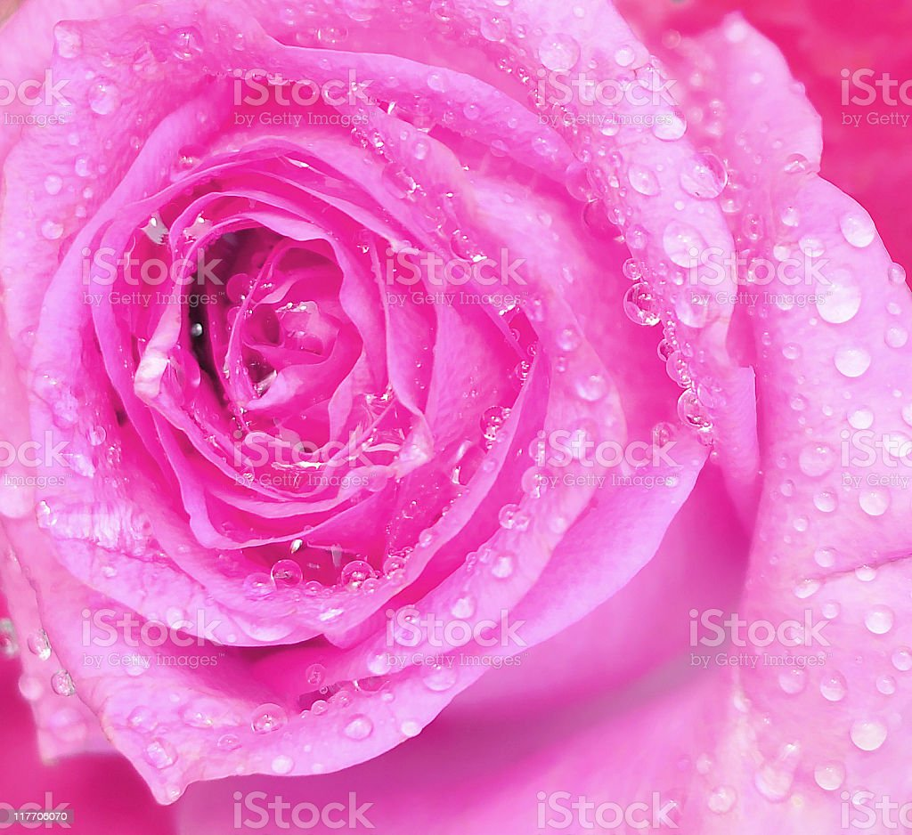 Close up Pink Rose royalty-free stock photo