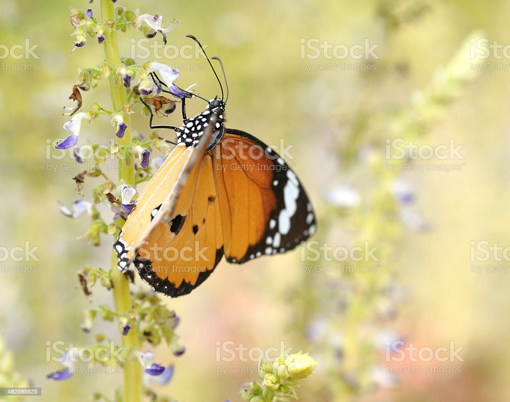 close up plain tiger butterfly on flower royalty-free stock photo