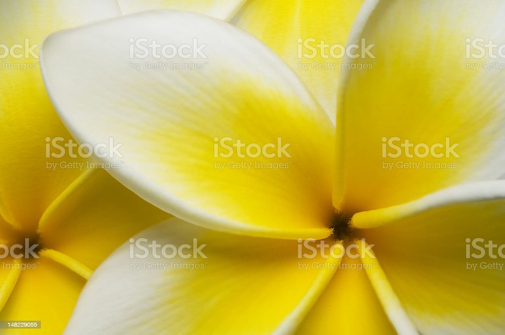 Close up Plumeria royalty-free stock photo