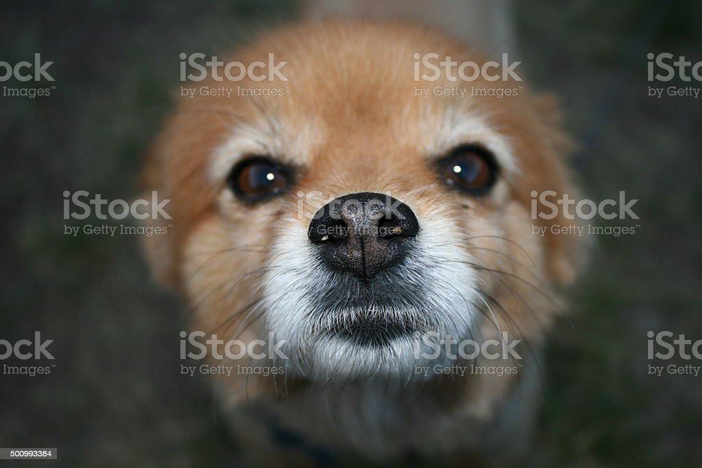 Close up Pomeranian dog's face stock photo
