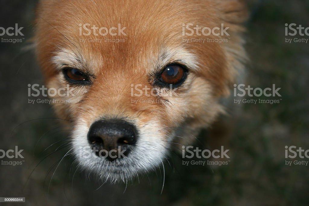 Close up Pomeranian, looking left stock photo