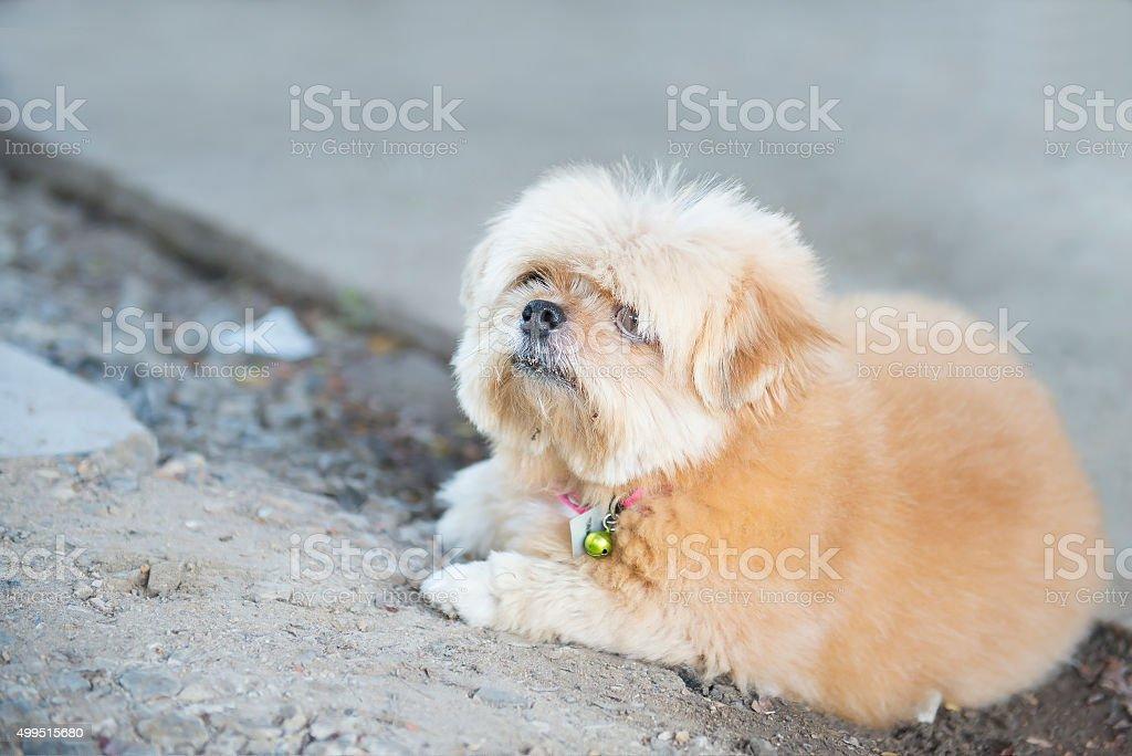 Close up Pomeranian Puppy Dog. stock photo