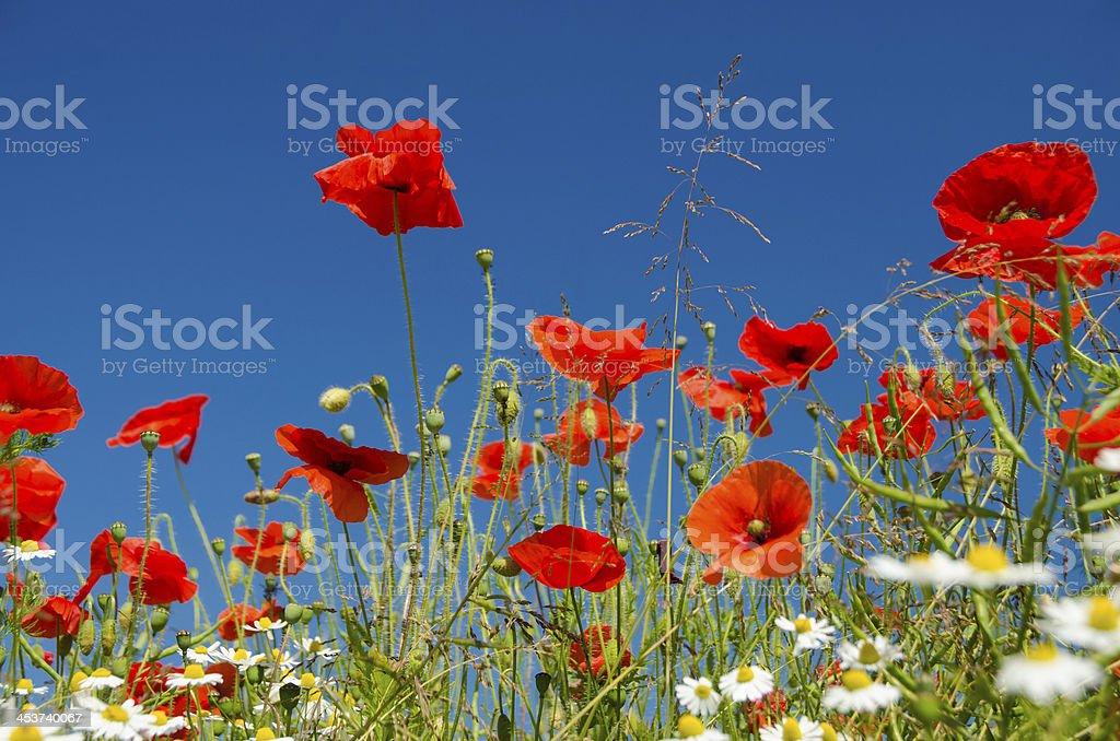 Close up poppy field royalty-free stock photo