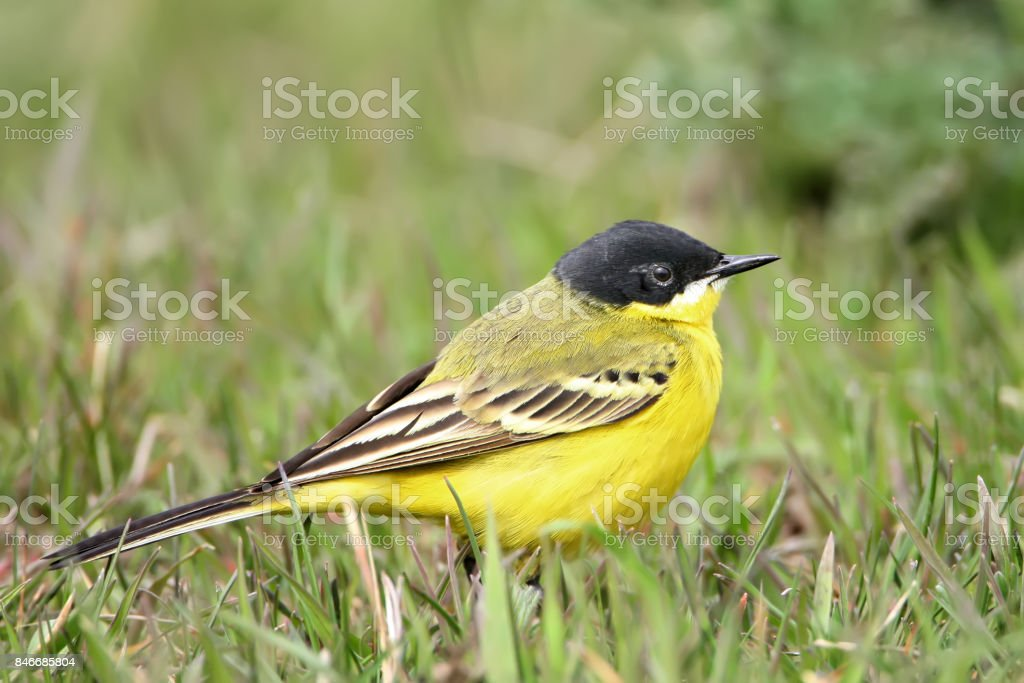Close up portrait black headed wagtail on the grass stock photo