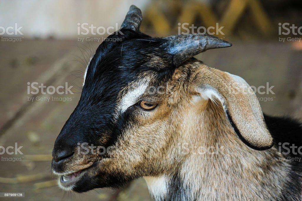 Close Up Portrait Goat stock photo