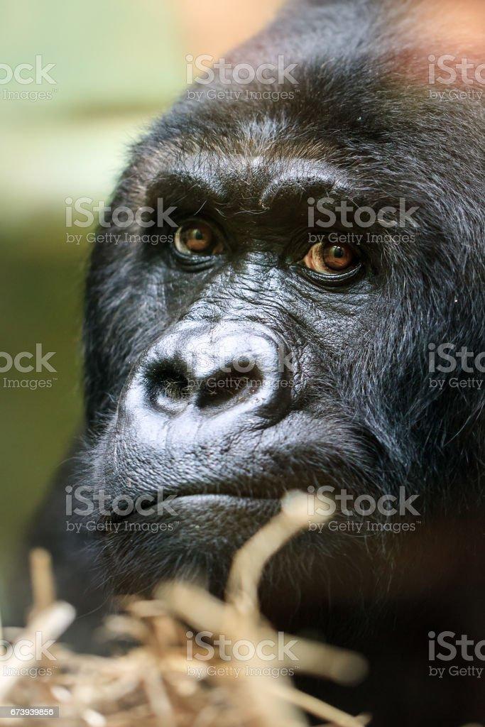 Close up portrait Gorilla stock photo