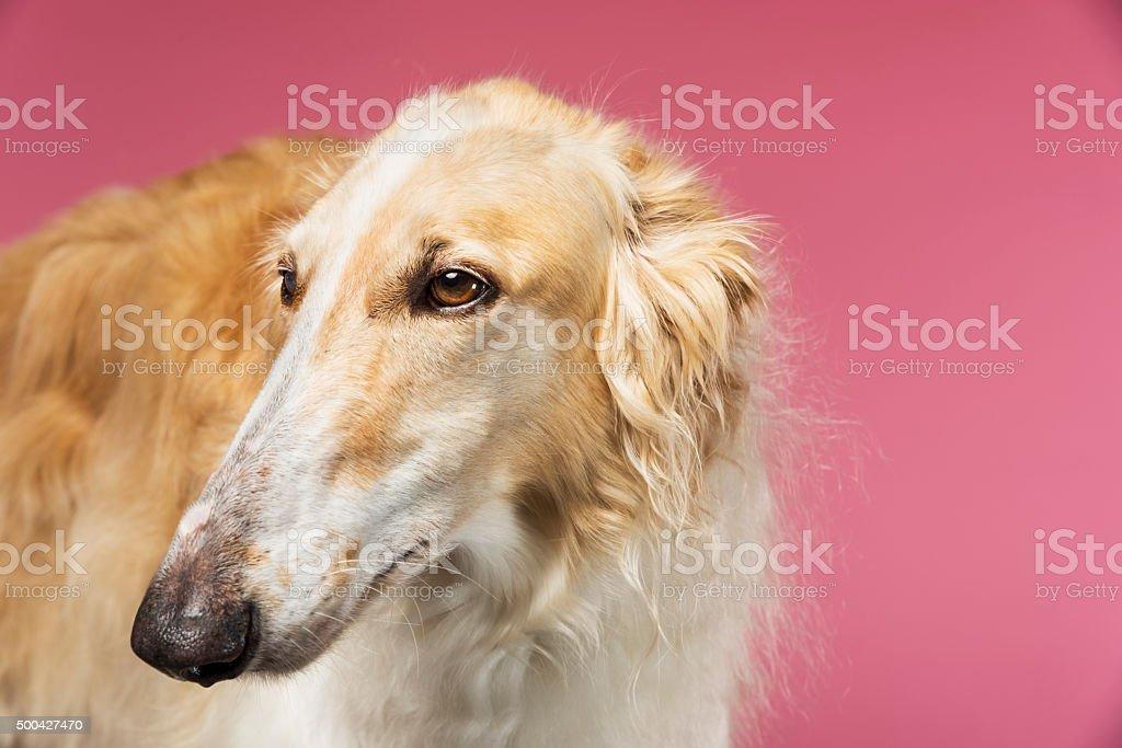 Close Up Portrait of a Borzoi Russian Wolfhound stock photo