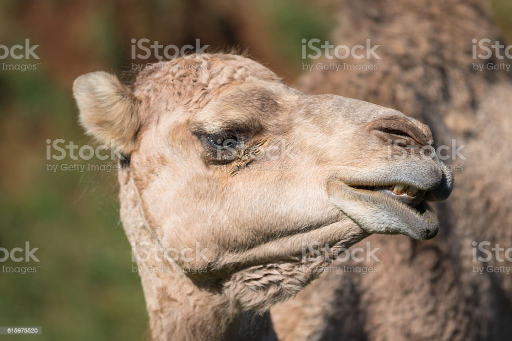 Close up portrait of a Camel stock photo