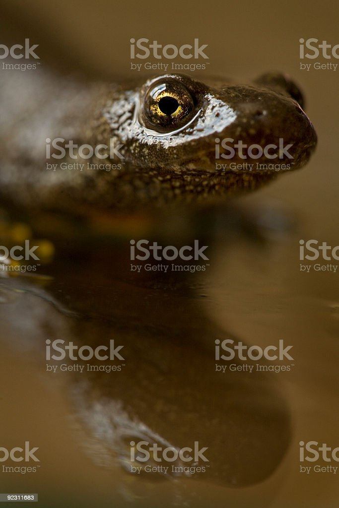 Close up Portrait of a Great Crested Newt stock photo