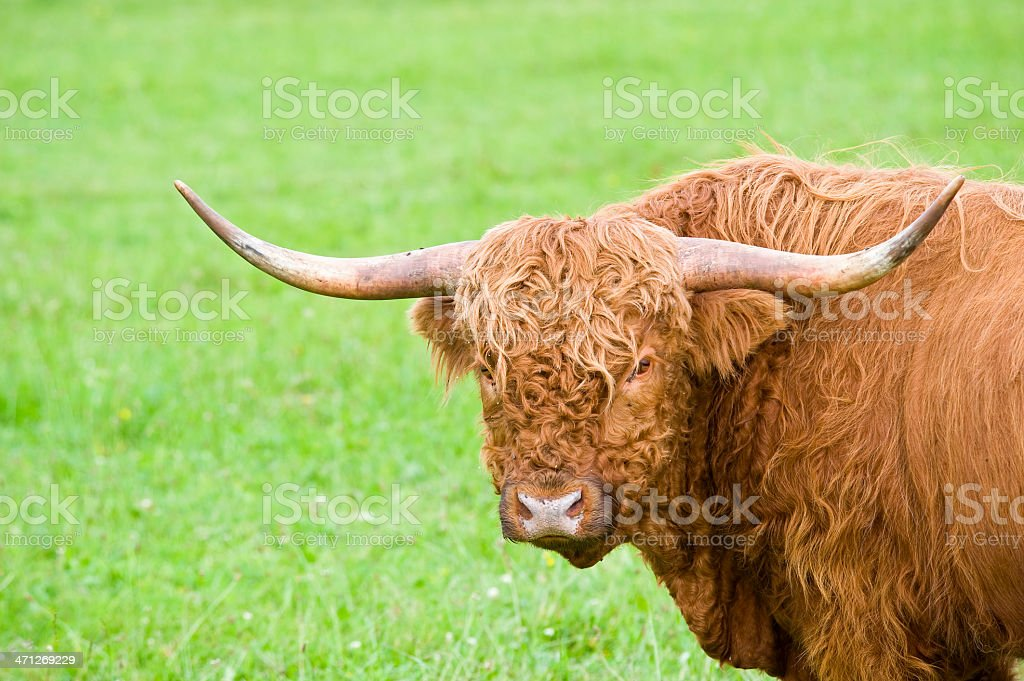 Close up portrait of a highland cattle with copy space stock photo