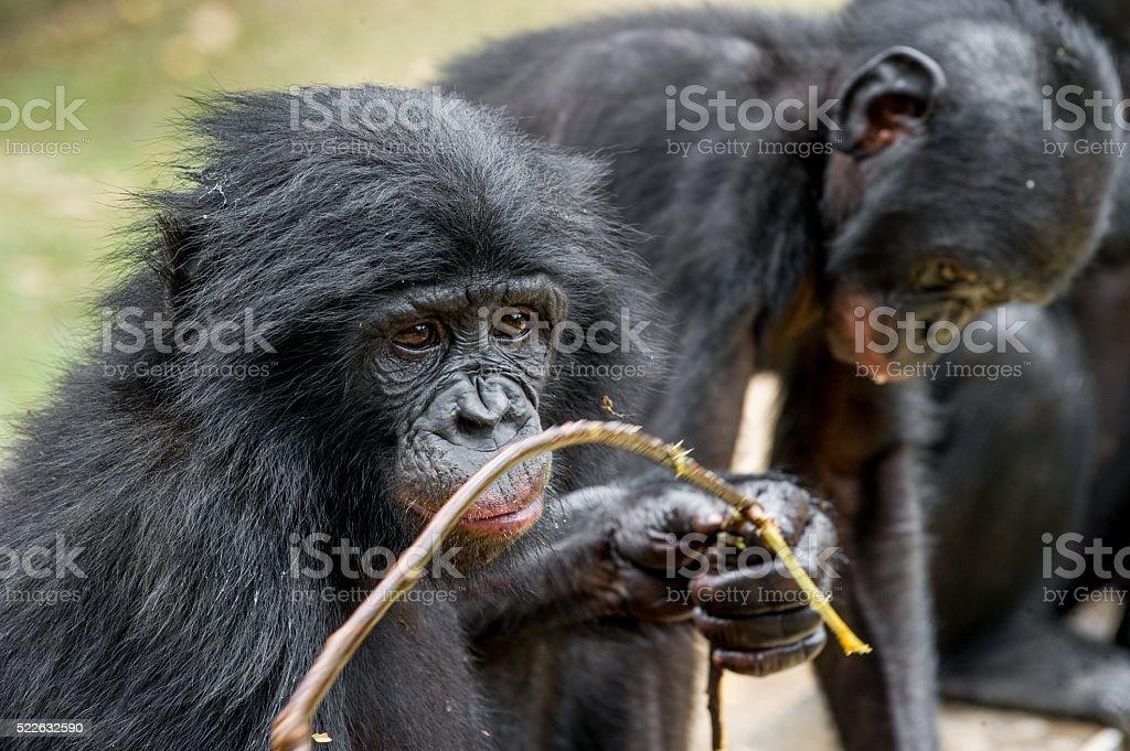 Close up Portrait of a juvenile bonobo. stock photo