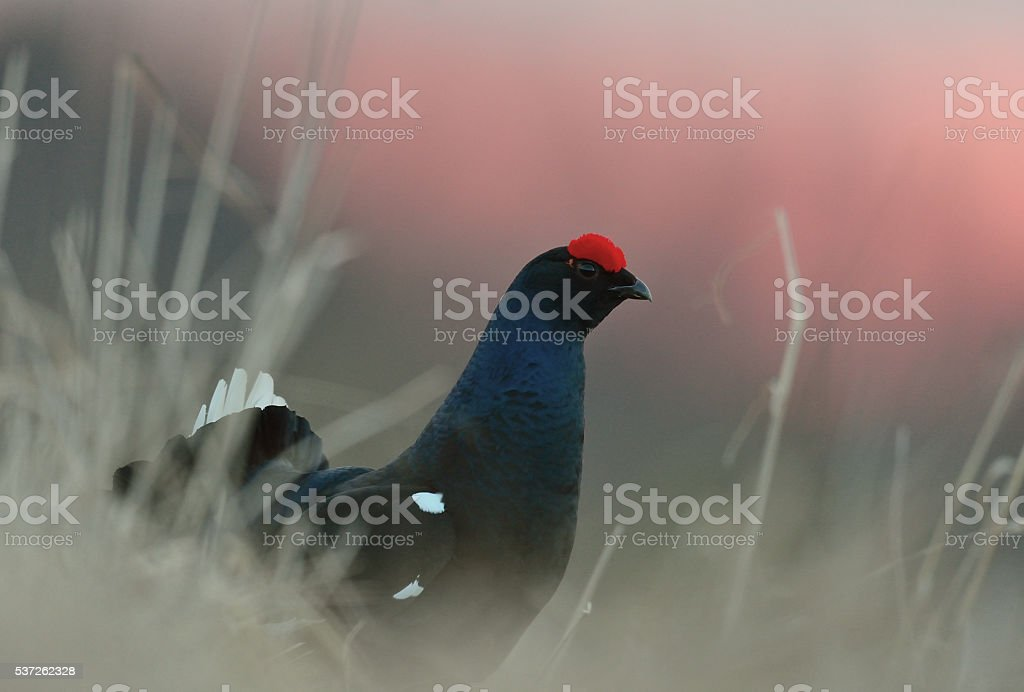 Close up Portrait of a lekking black grouse stock photo