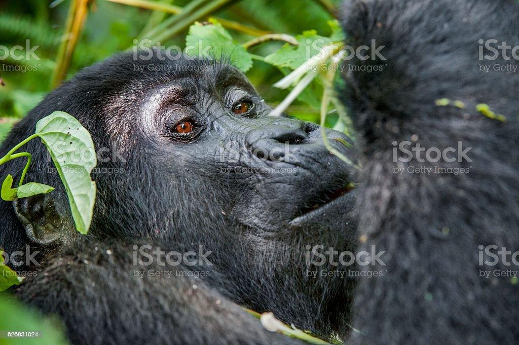 Close up Portrait of a mountain gorilla stock photo