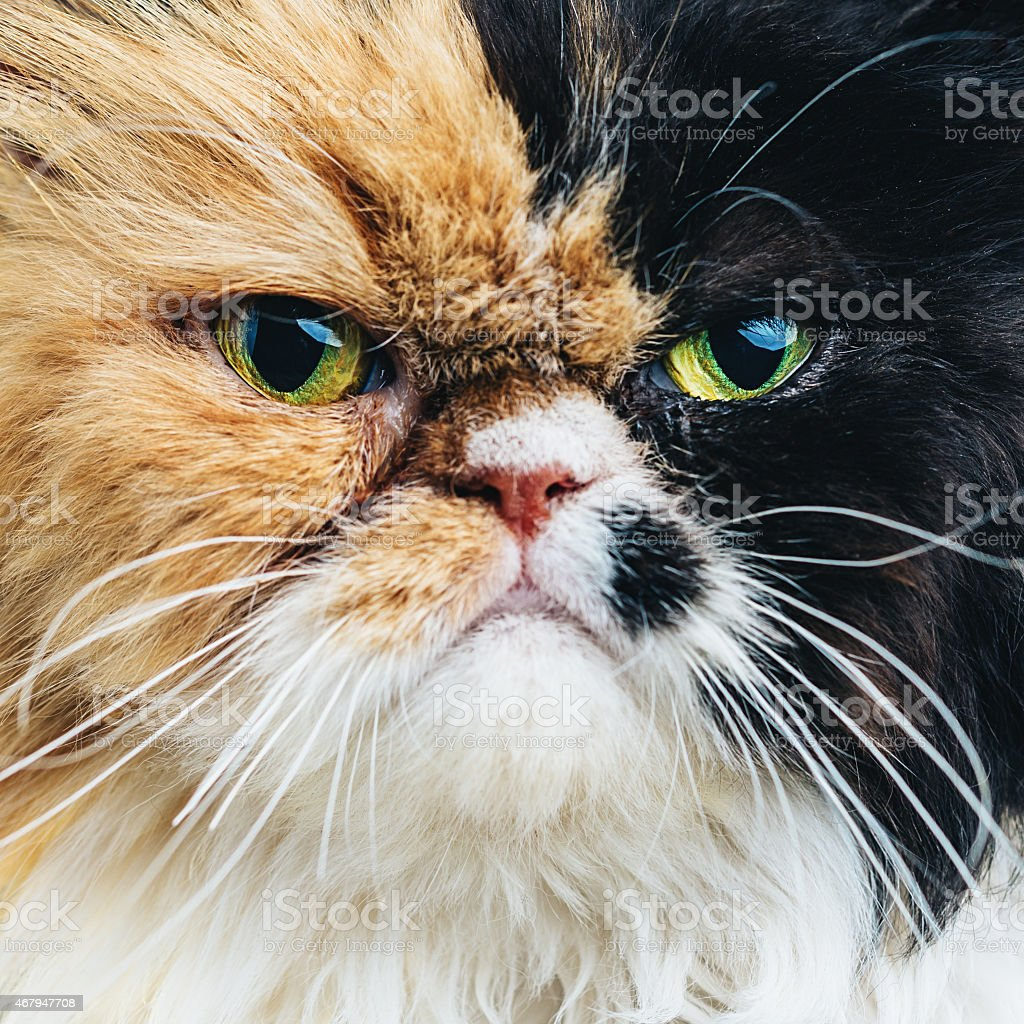 Close Up Portrait of a Persian Cat stock photo