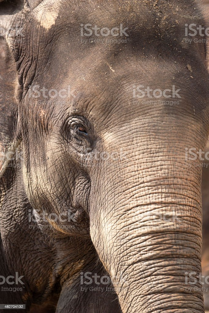 Close up portrait of an Asian elephant stock photo