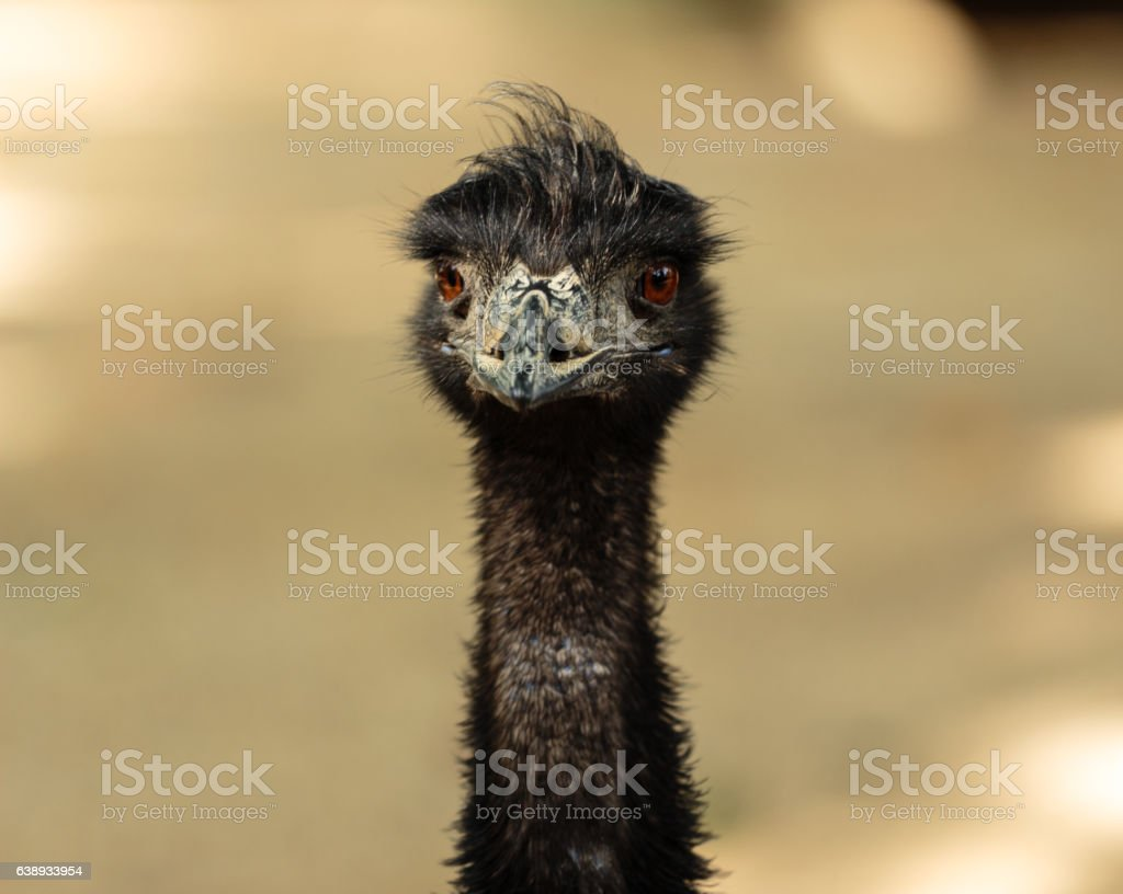 Close up portrait of an emu stock photo