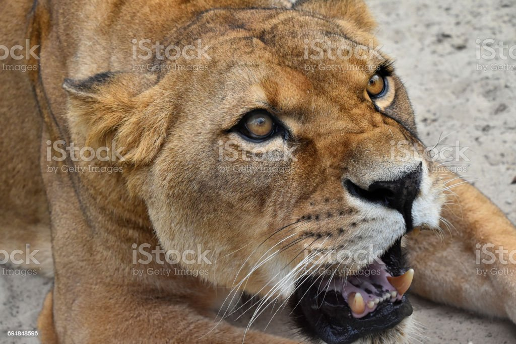Close up portrait of angry furious lioness roar stock photo