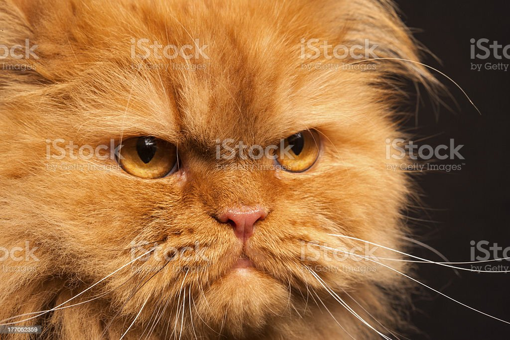 Close up Portrait of angry Orange Persian cat face royalty-free stock photo