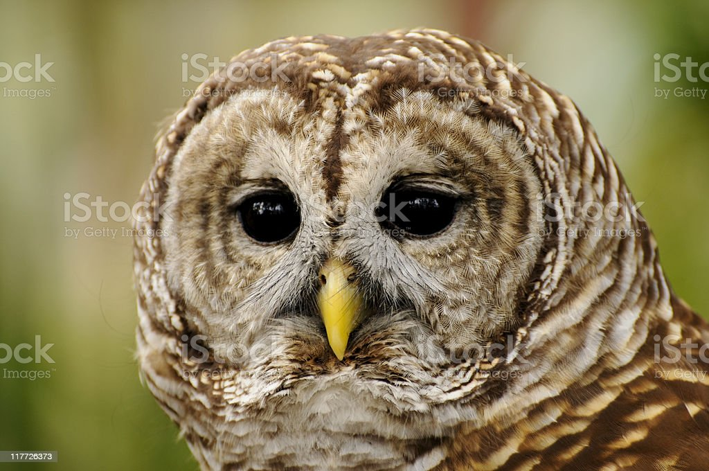 Close up Portrait of Barred Owl stock photo