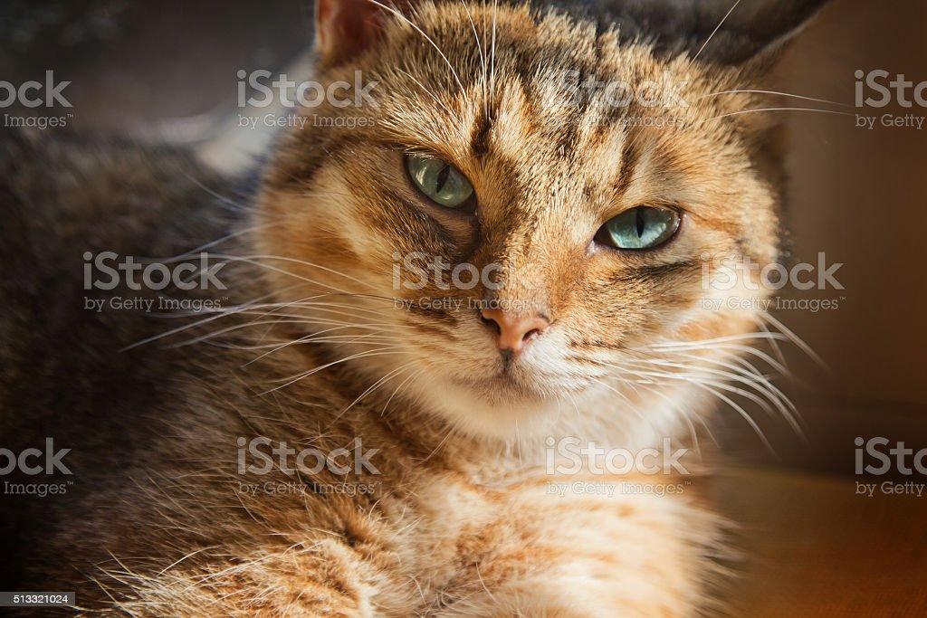 Close up portrait of beautiful domestic cat stock photo