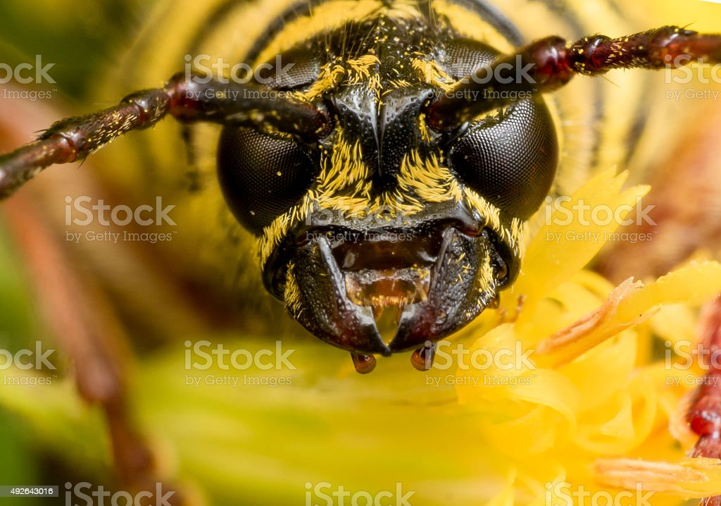 Close Up Portrait of Black and Yellow Locust Borer stock photo