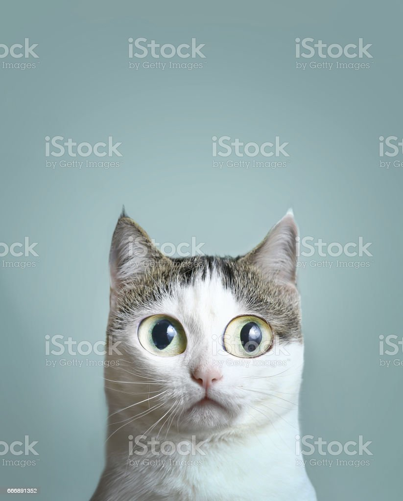close up portrait of blue eyed cat stock photo