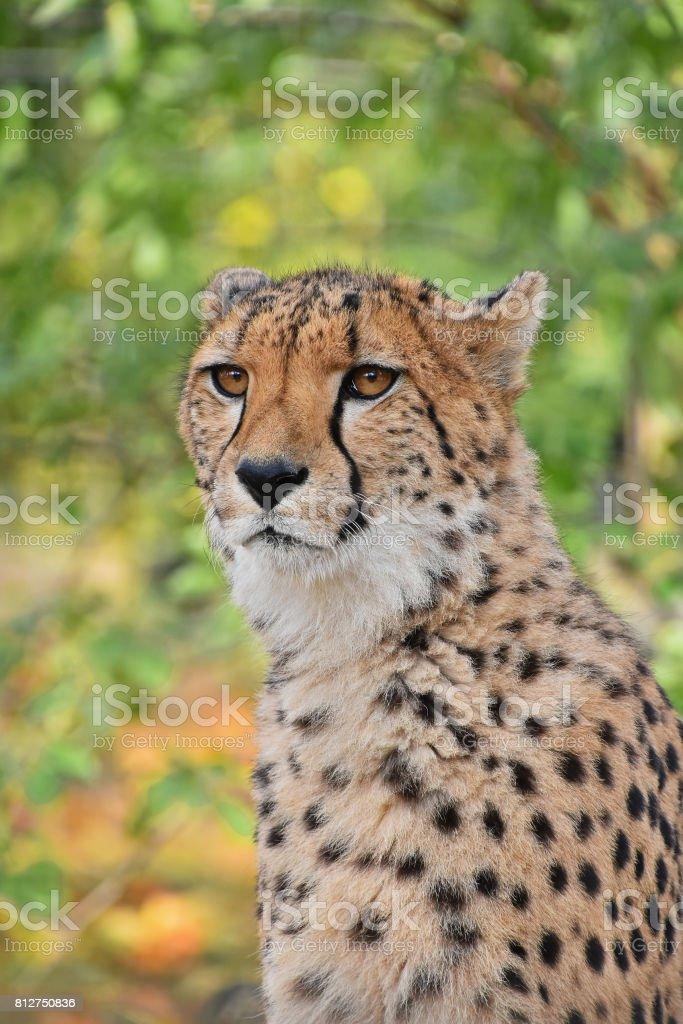 Close up portrait of cheetah stock photo