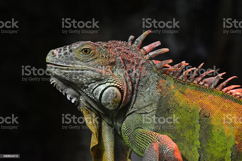 Close up portrait of green iguana male on black stock photo