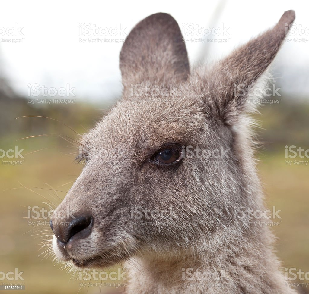 Close up portrait of Kangaroo royalty-free stock photo
