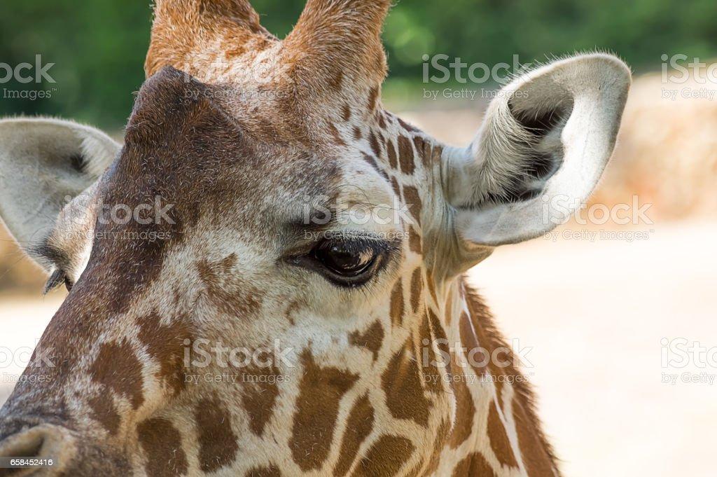 Close up portrait of Masai giraffe. stock photo
