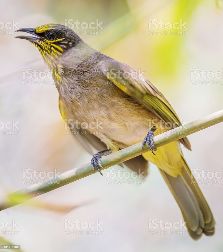 Close up portrait of Stripe-throated Bulbul, Bird stock photo