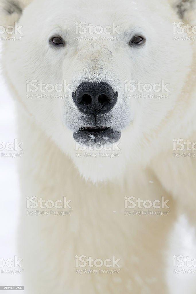 Close up portrait of the Male polar bear stock photo