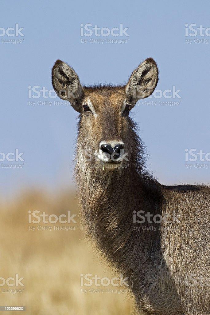 Close up Portrait of waterbuck stock photo