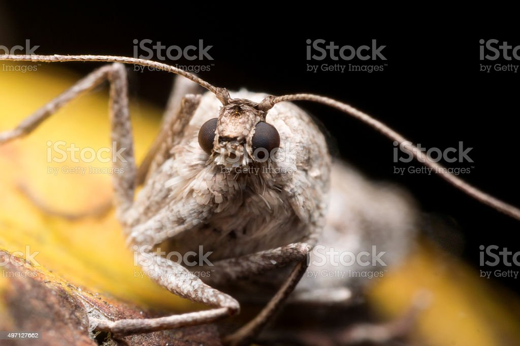 close up Portrait of Wingless Female Fall Cankerworm Moth stock photo