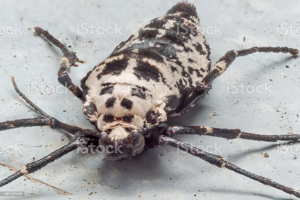 close up Portrait of Wingless Female Mottled Umber Moth Clinging stock photo