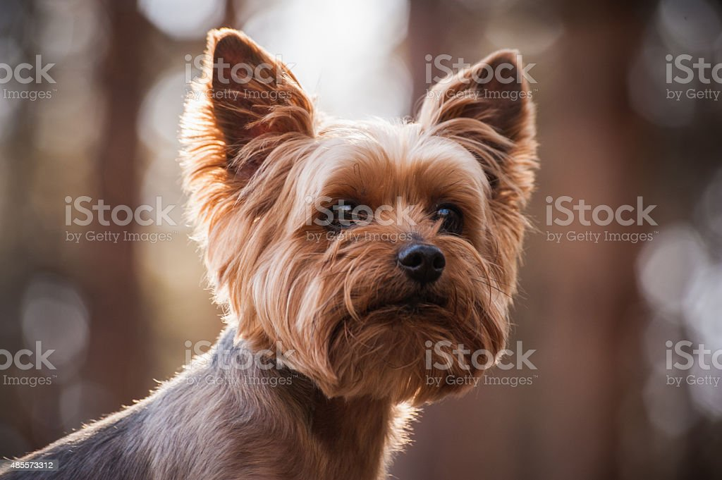 close up Portrait of Yorkshire Terrier dog stock photo
