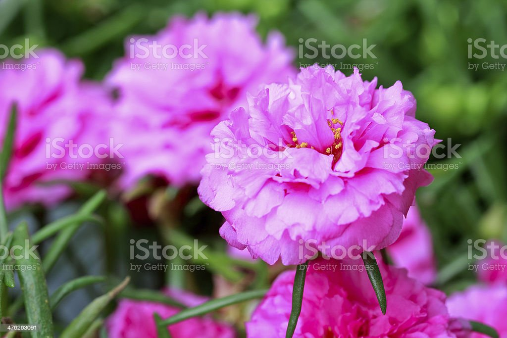 close up portulaca flower in the garden royalty-free stock photo
