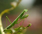 Close up praying mantis standing on leaf