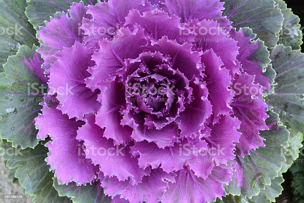 Close up purple cabbage flower in ornamental garden. stock photo