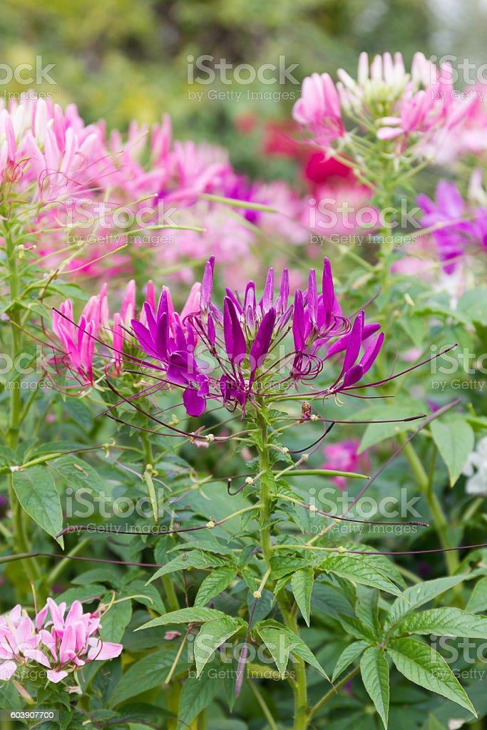 Close up Purple spider flower in the garden stock photo