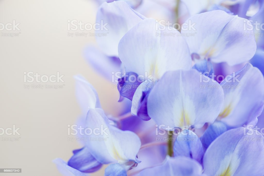 Close Up Purple Wisteria On Beige Background stock photo