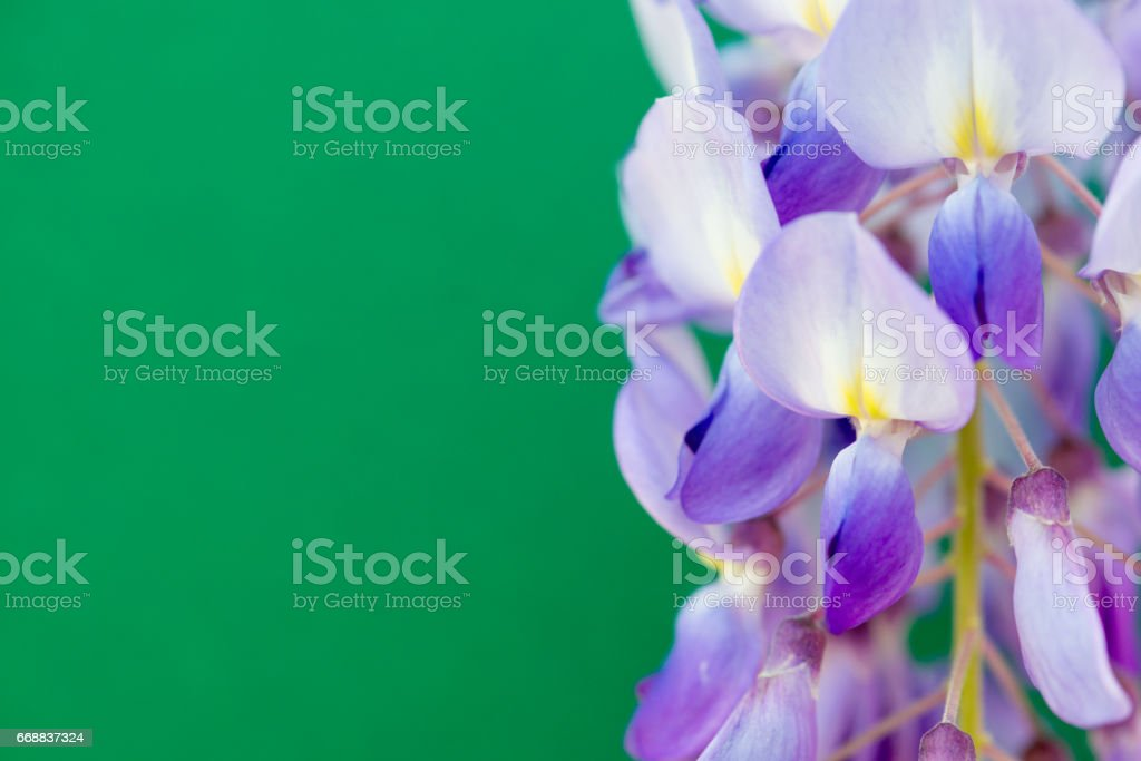 Close Up Purple Wisteria On Green Background stock photo