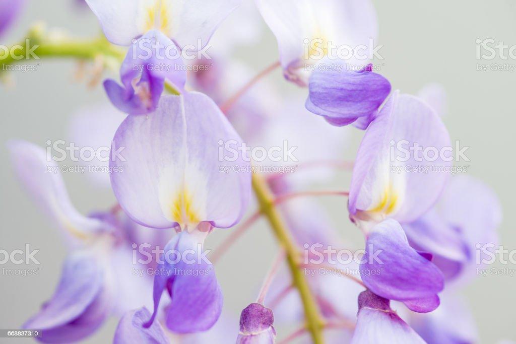 Close Up Purple Wisteria On White  Background stock photo