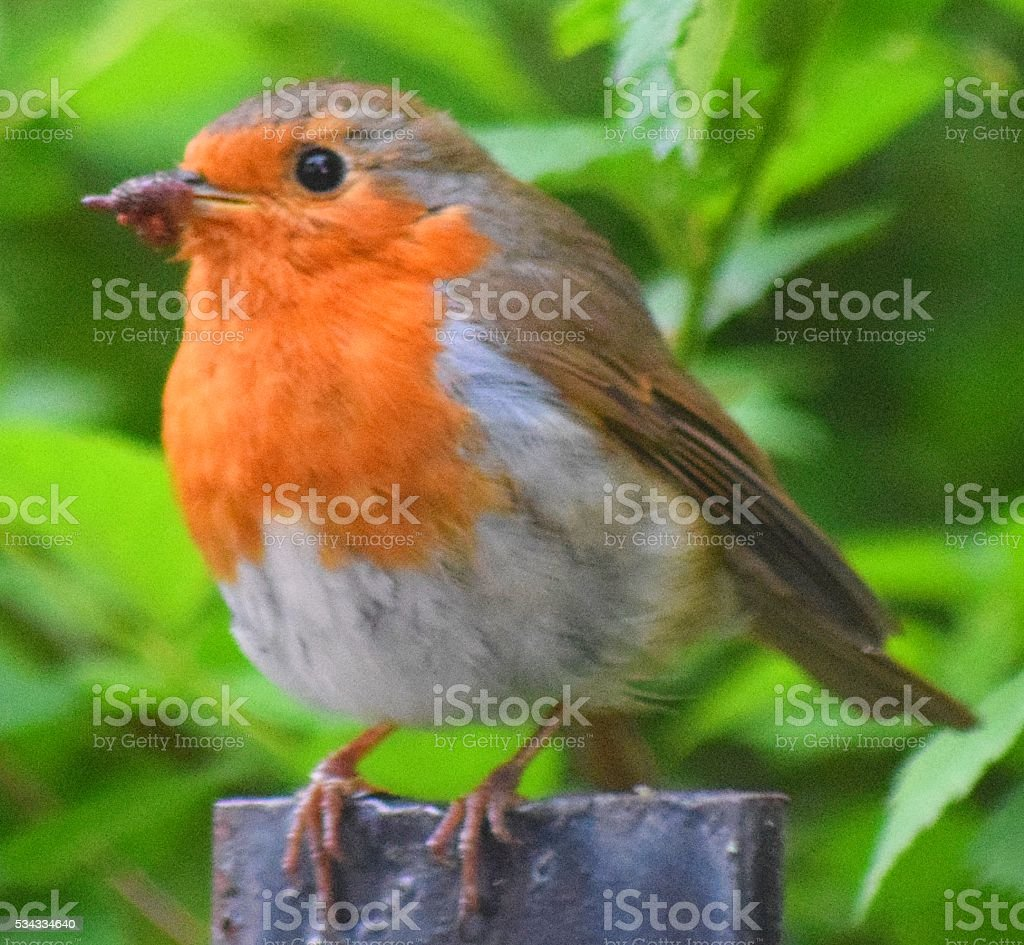 close up red breast robin bird perched on branch stock photo