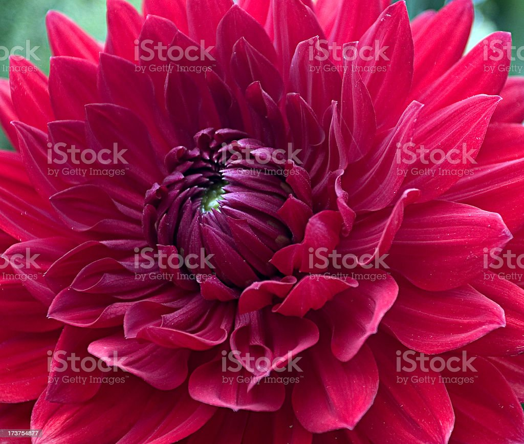 Close Up Red Flower royalty-free stock photo