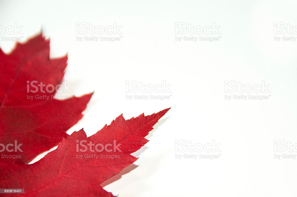 close up red maple leaf stock photo