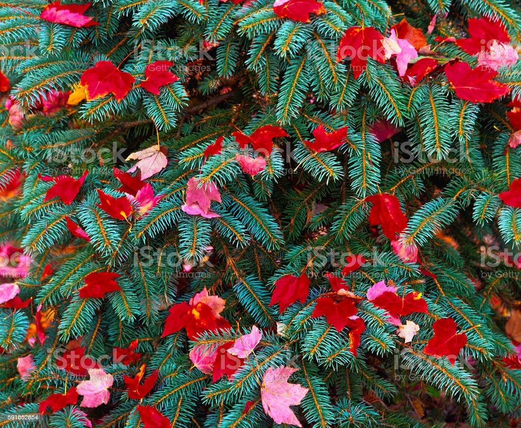 Close up Red maple leaves on pine branchs MA(P) stock photo