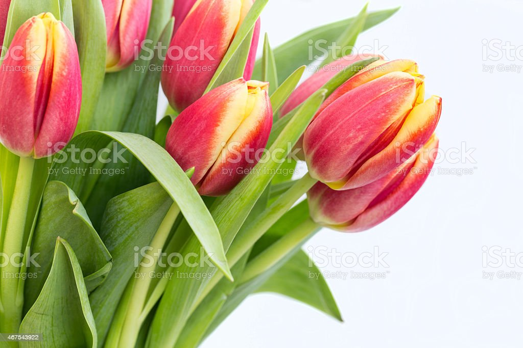 Close Up Red Spring Tulips on White Background stock photo